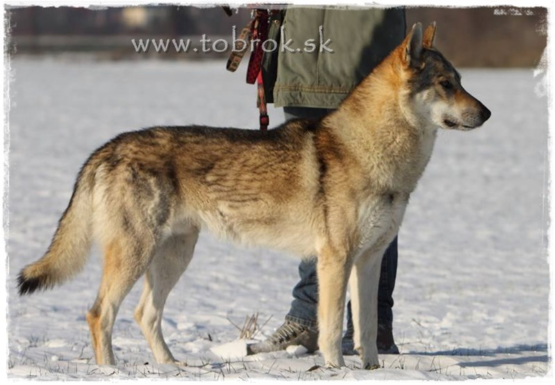 Silver czechoslovakian wolfdog - photo#6